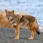 Diferencia entre coyote y lobo (con tabla)