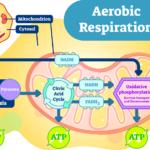 Diferencia entre respiración aeróbica y anaeróbica (con tabla)