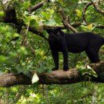 Diferencia entre Panther y Jaguar (con tabla)